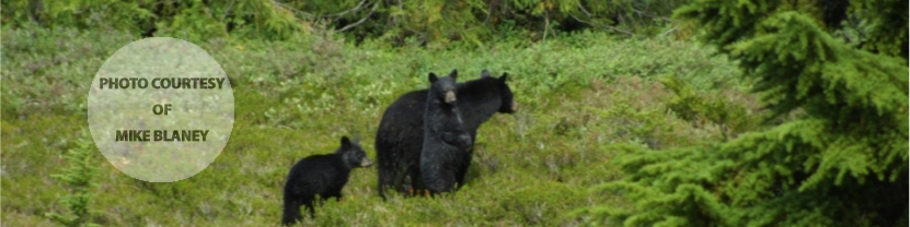 Bear and cubs, Whistler, BC