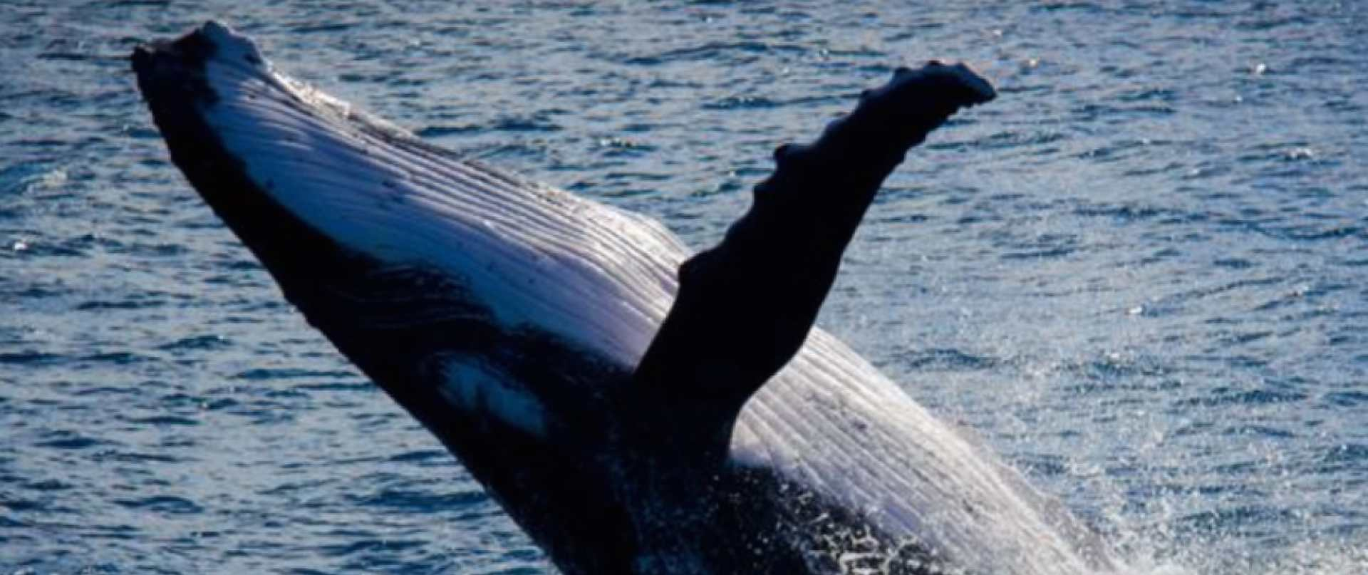 humpback-breach-crop.jpg.1920x807_default.jpg
