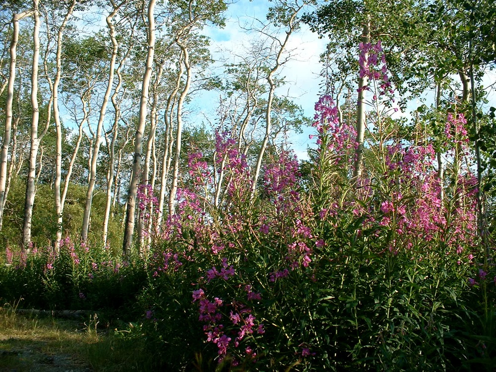 Fireweed and Aspen 17 July 2009.jpg