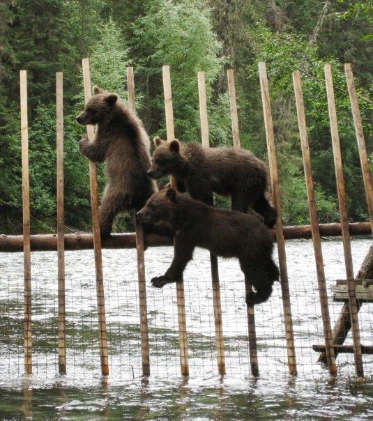 JP Nakina Weir 3 cubs