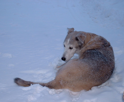 Rex curled up in the snow