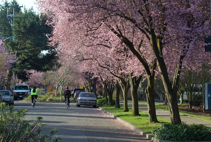 spring cherry blossoms - cropped.jpg